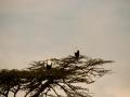 Raubadler-Afrika-Baumkrone