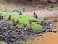 Affenhorde-in-Afrika