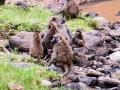 Berberaffe-Horde-Lake-Nakuru