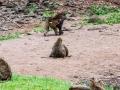 Berberaffe-Magot-Lake-Nakuru
