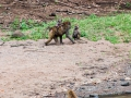 Berberaffe-in-Afrika
