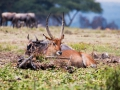 Antilope-mit-Gnu-Afrika
