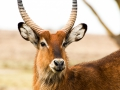 Moorantilope-Lake-Nakuru-Afrika