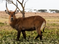 Weißnacken-Moorantilope-Afrika