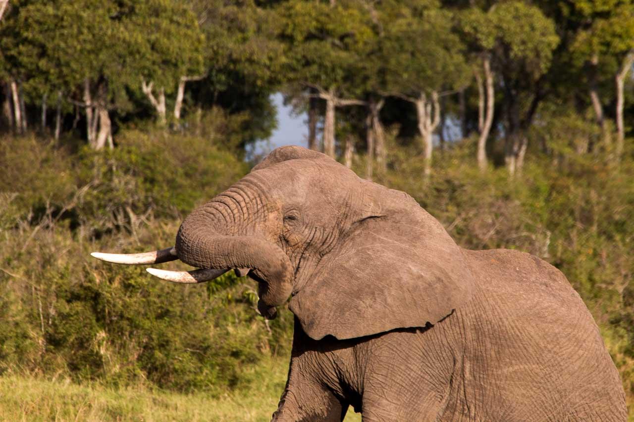 Elefant (22)