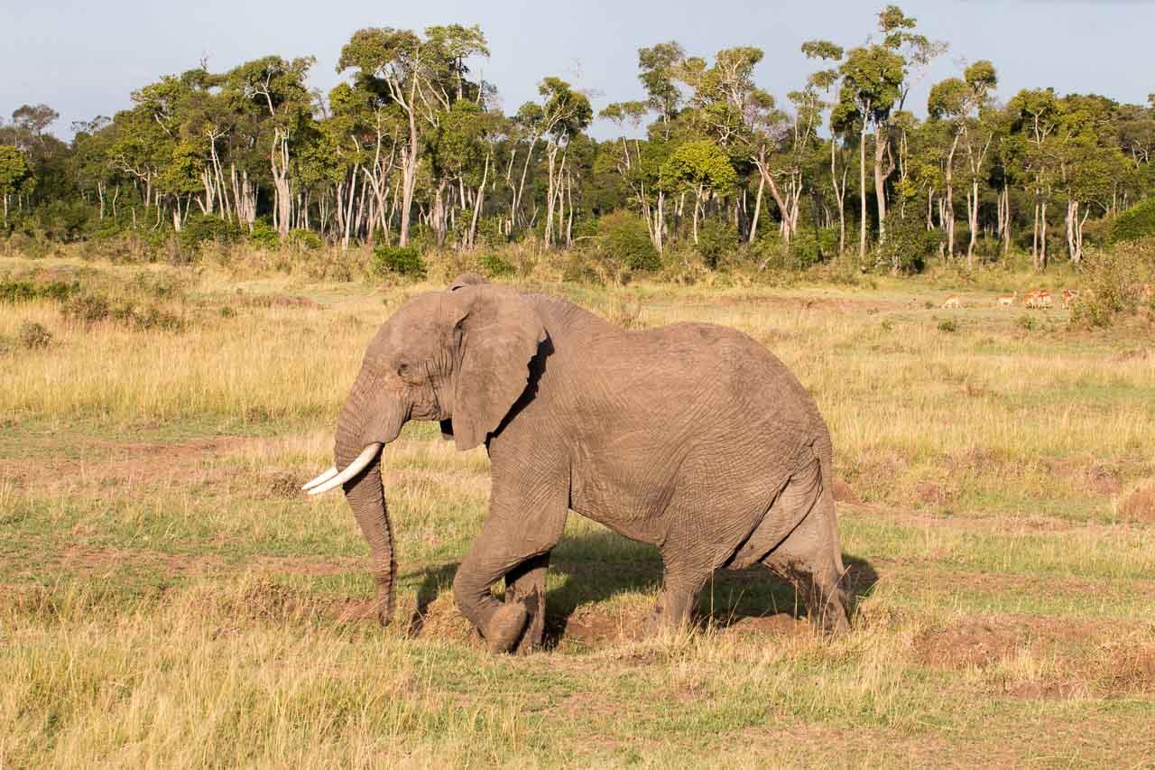 Elefant (26)