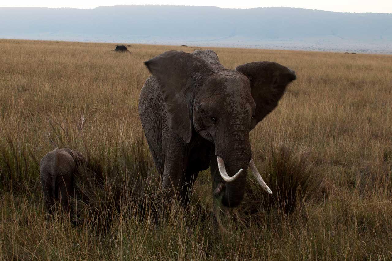 Elefant (30)
