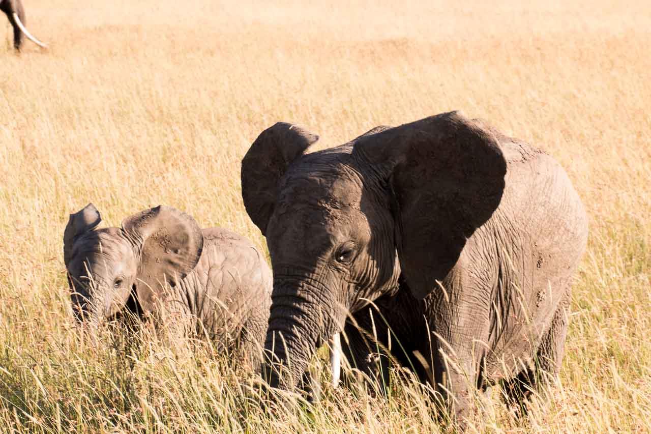 Elefant (42)