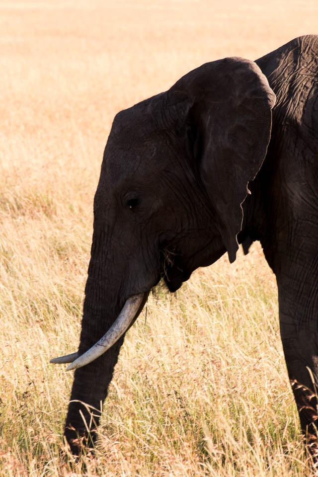 Elefant (43)