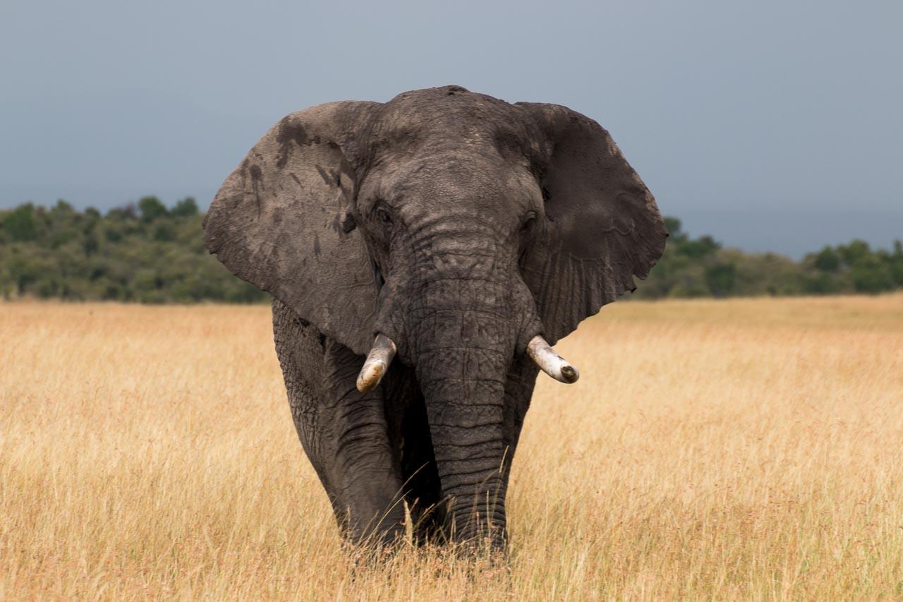 Elefant (50)