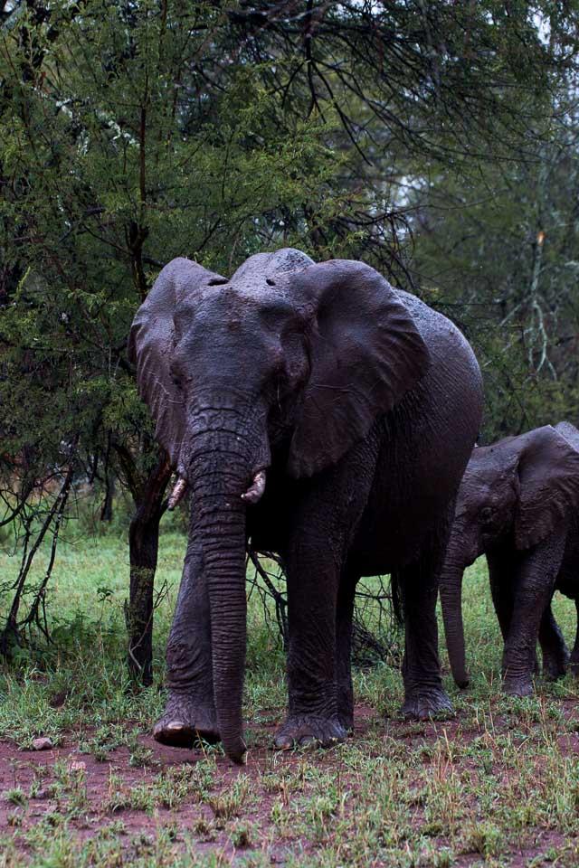 Elefant (54)