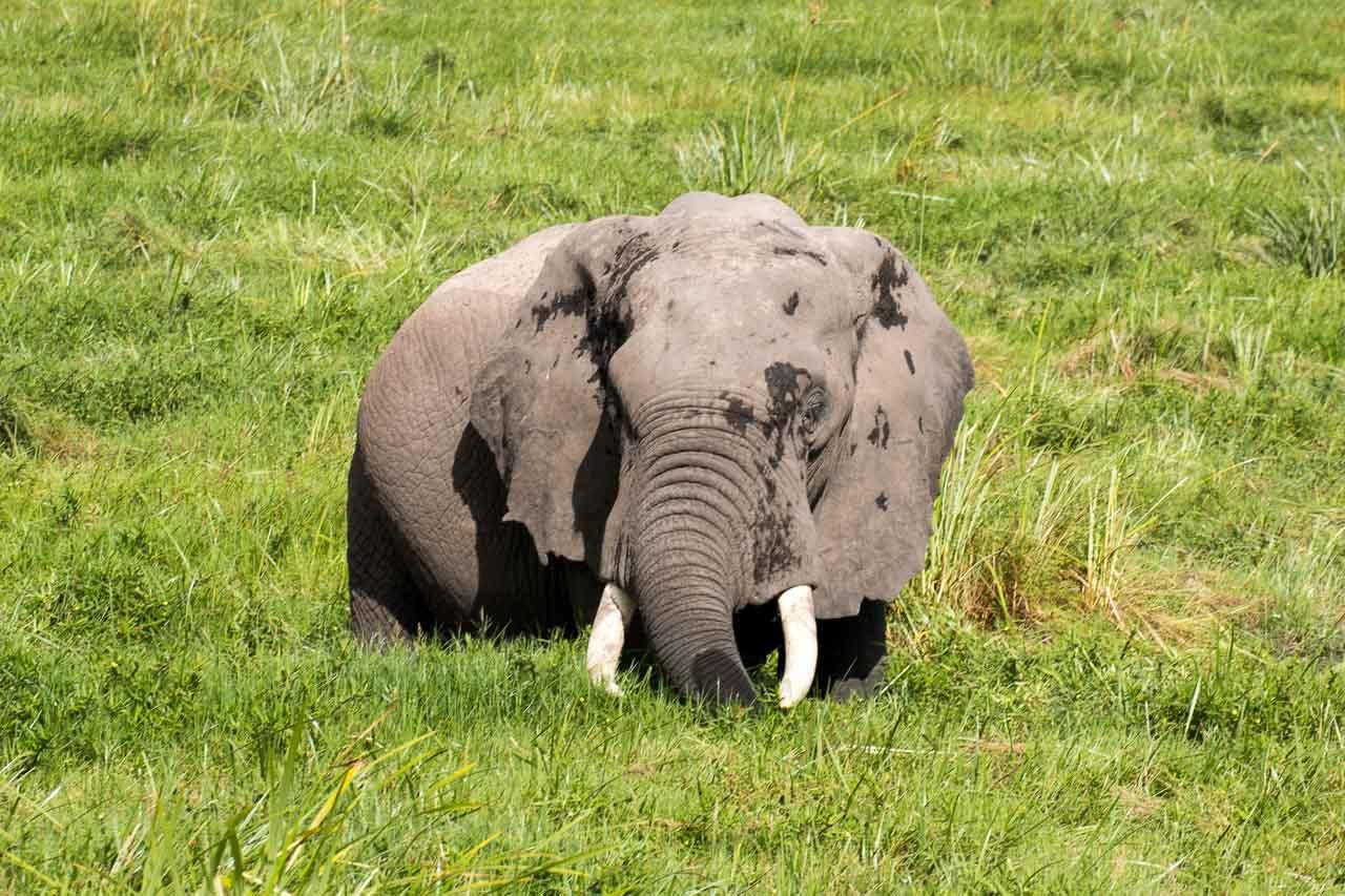Elefant (60)