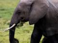 Elefant (14)