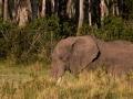 Elefant (19)