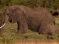 Elefant (20)
