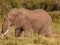 Elefant (21)