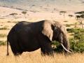 Elefant (39)