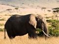 Elefant (40)