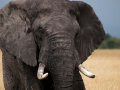 Elefant (51)