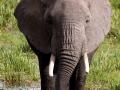 Elefant (59)