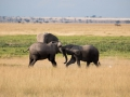 Elefant (61)