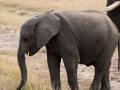 Elefant (9)