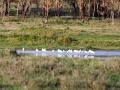 Gruppe-Flamingos-im-See