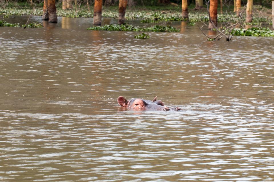 Flusspferd-im-See-Lake-Nakuru
