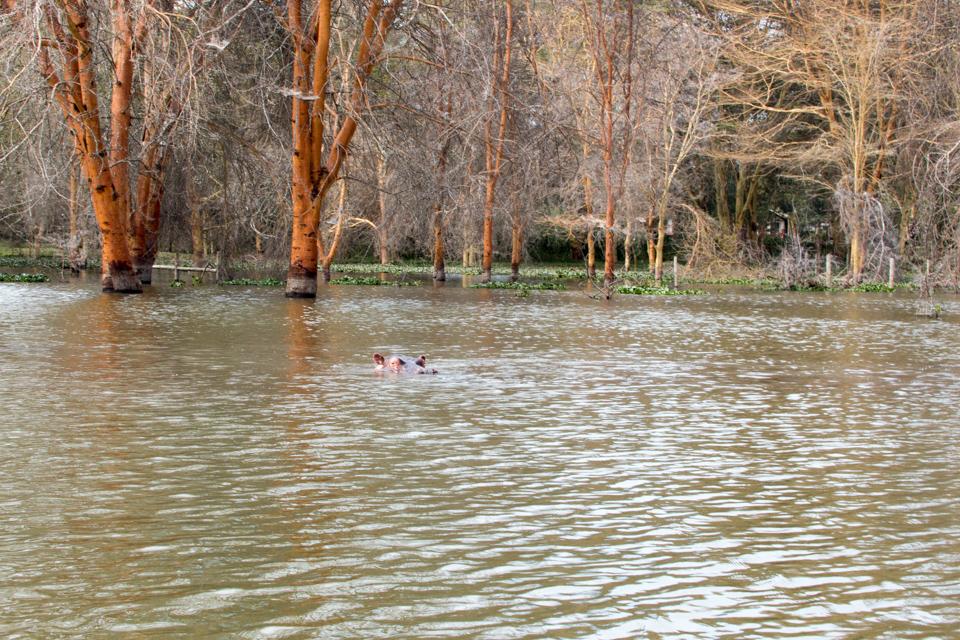 Hippopotamus-im-Wasser