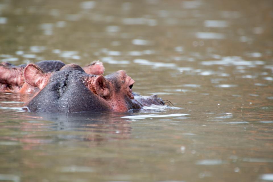 Zwei-Flusspferde-Portrait