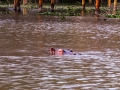 Flusspferd-im-Wasser
