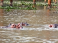 Zwei-Flusspferde-unter-Wasser