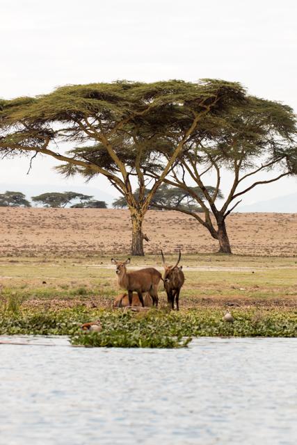 Gazellen-in-Afrika