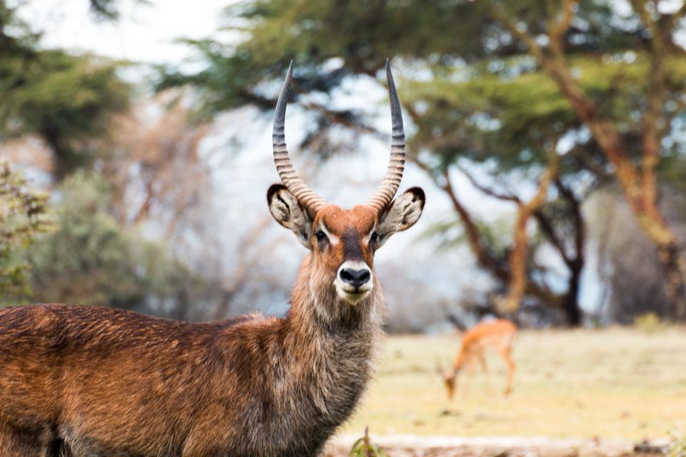 Lake-Nakuru-Gazelle