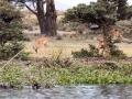 Gazelle (1)