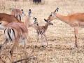 Gazelle (4)