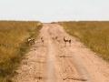 Gazelle (5)