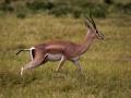 Gazelle (7)