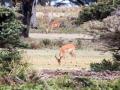 Gazelle-Afrika-Lake-Nakuru