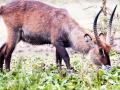 Gazelle-Portrait-Afrika