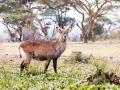 Gazelle-auf-Safari-Afrika