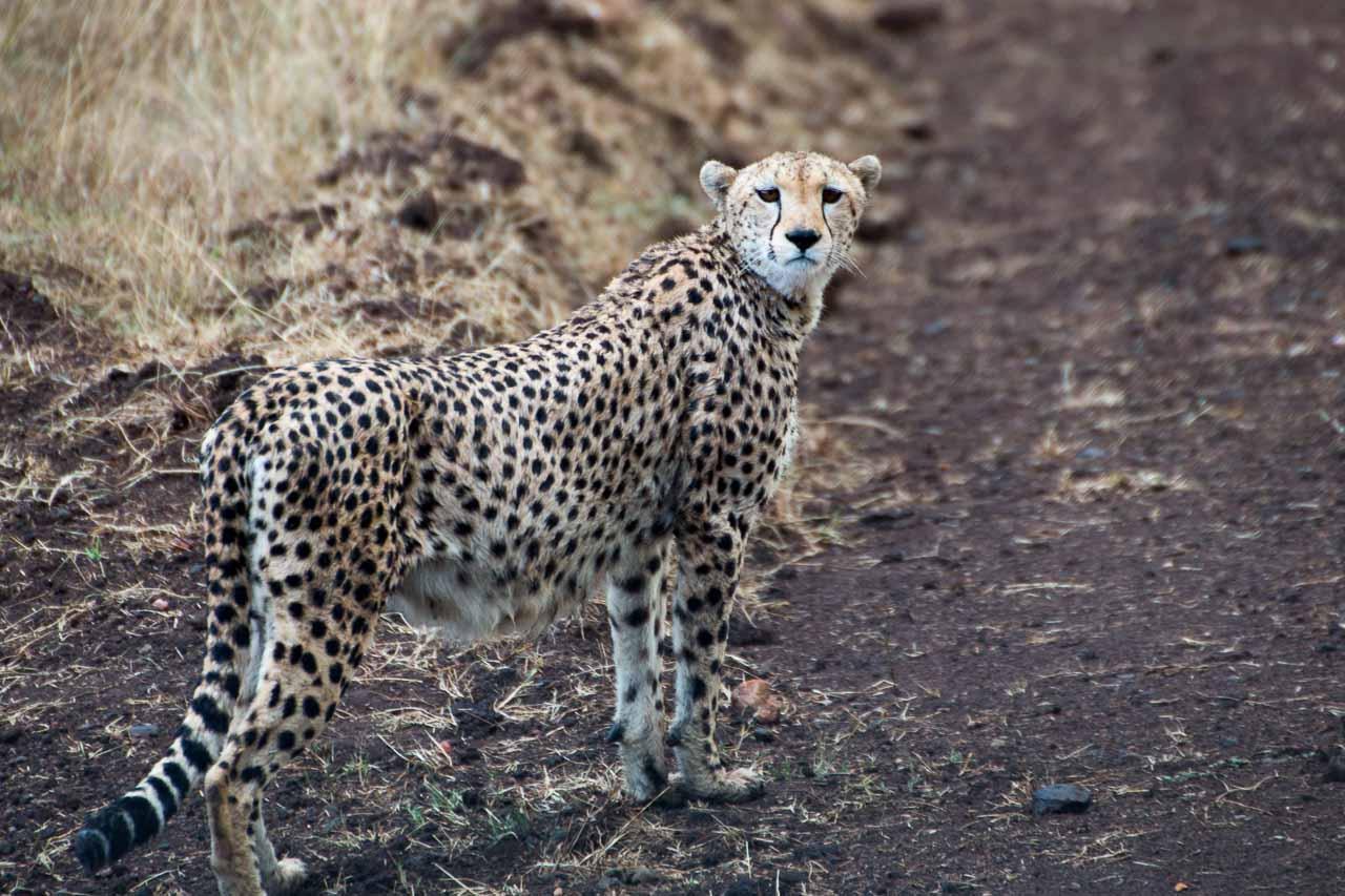 gepard  kostenlose tierbilder