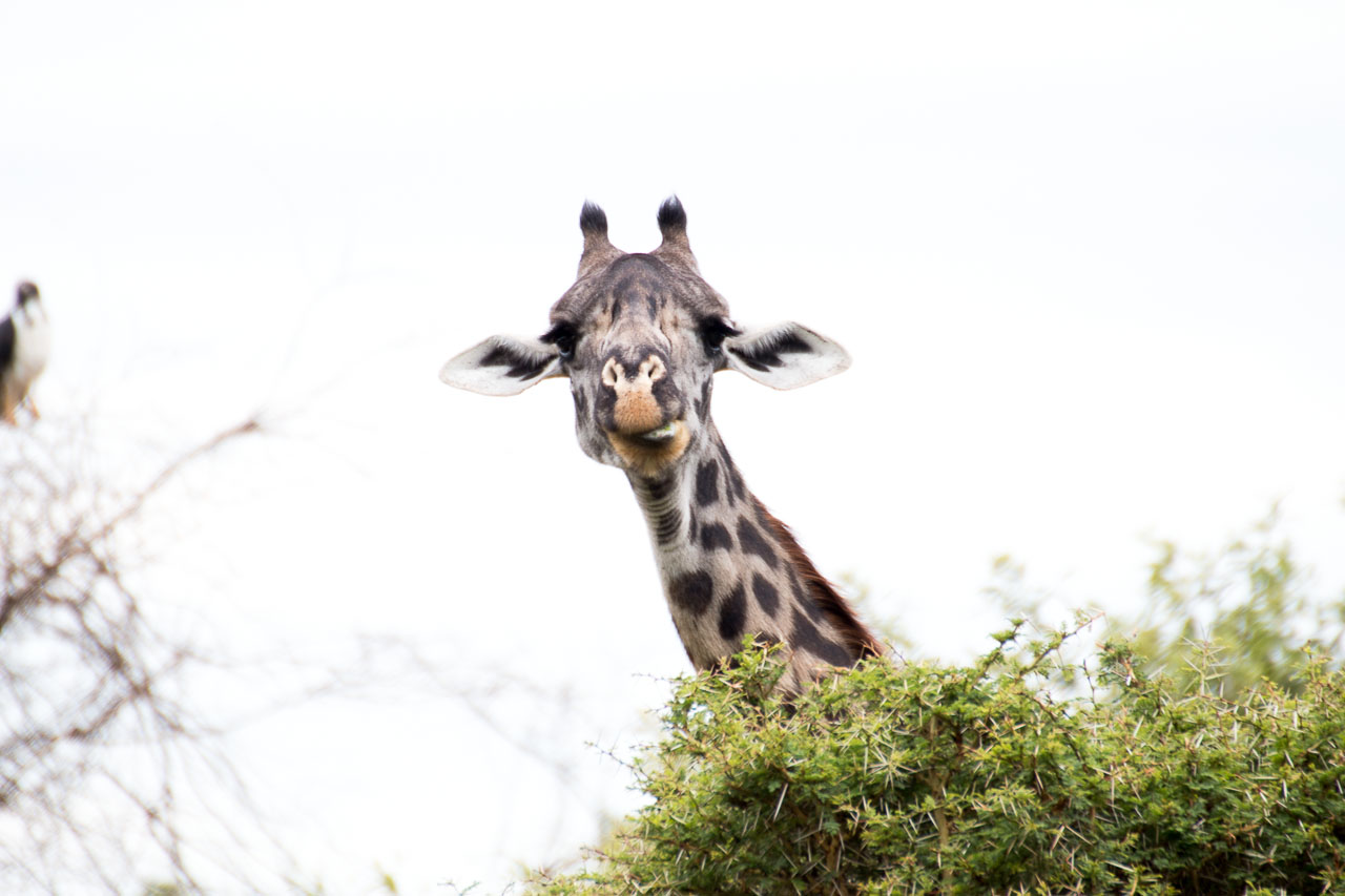 Giraffe (13)