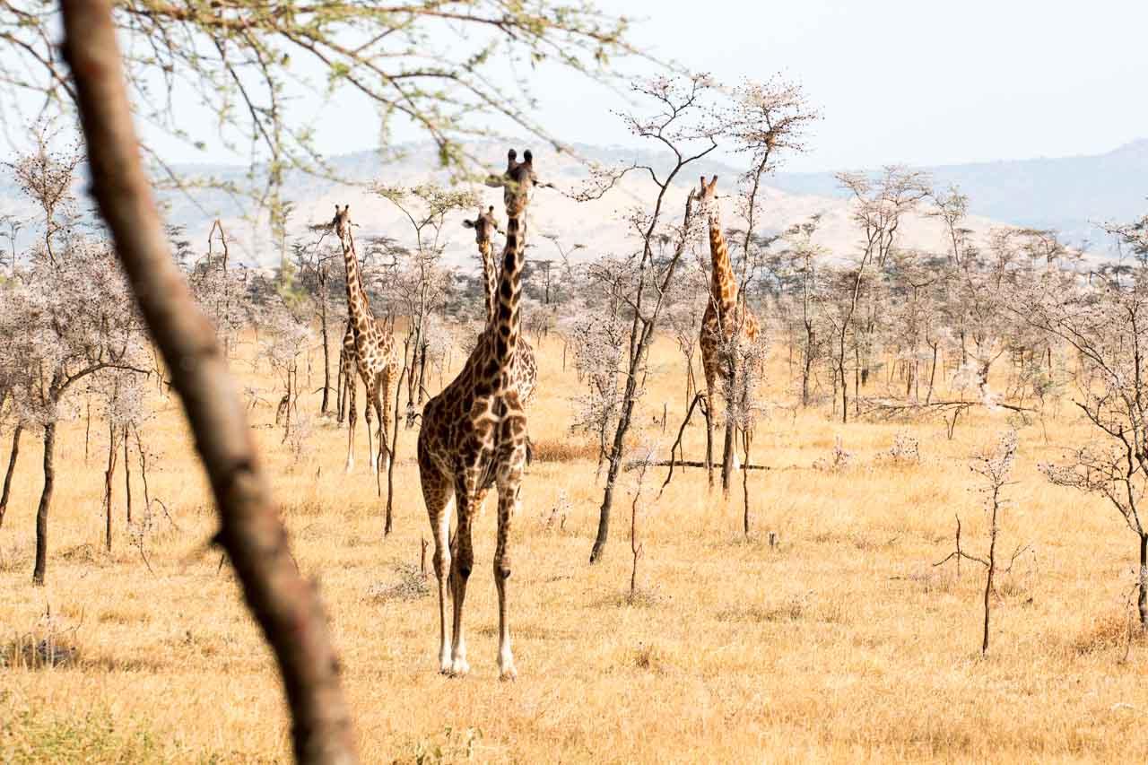 Giraffe (9)
