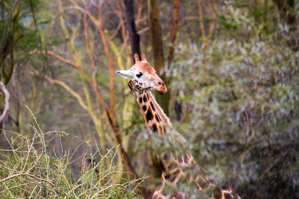 Giraffe-Baumkrone-Afrika