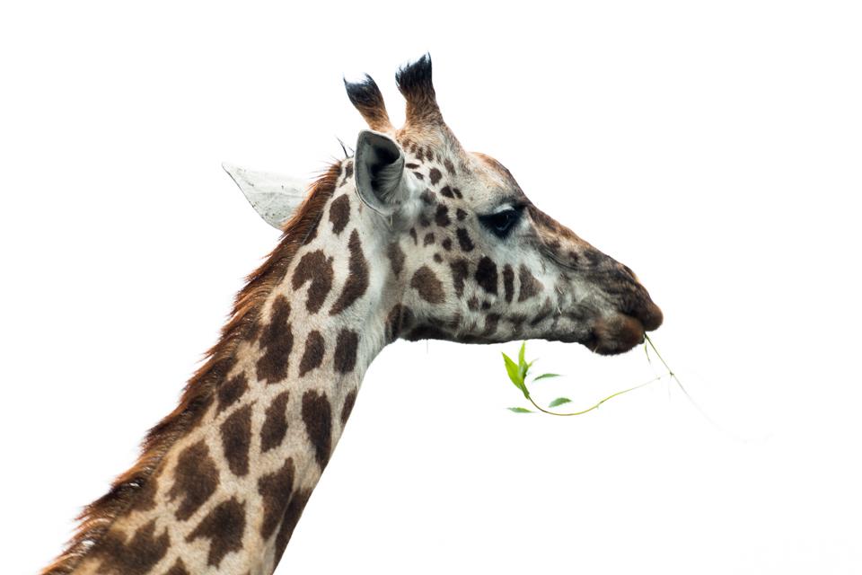 Giraffe-Kopf-Portrait