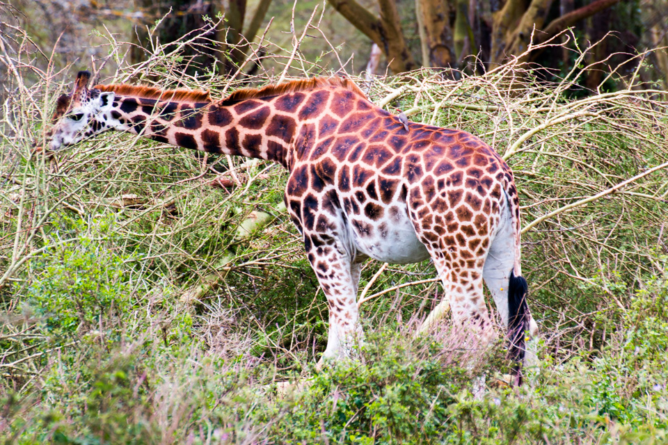 Giraffe-am-Lake-Nakuru