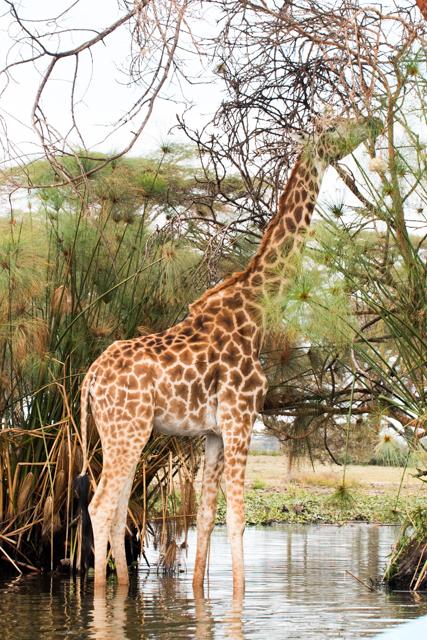 Giraffe-im-Wasser-grasend