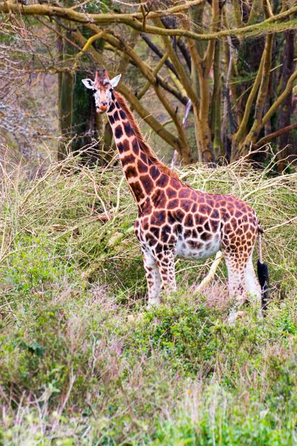 Giraffe-stolz-Afrika-Lake-Nakuru