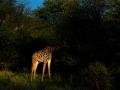 Giraffe (10)